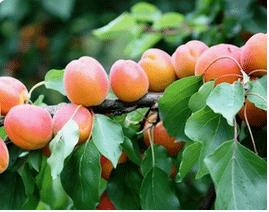 Abricots produits dans la région de Lyon